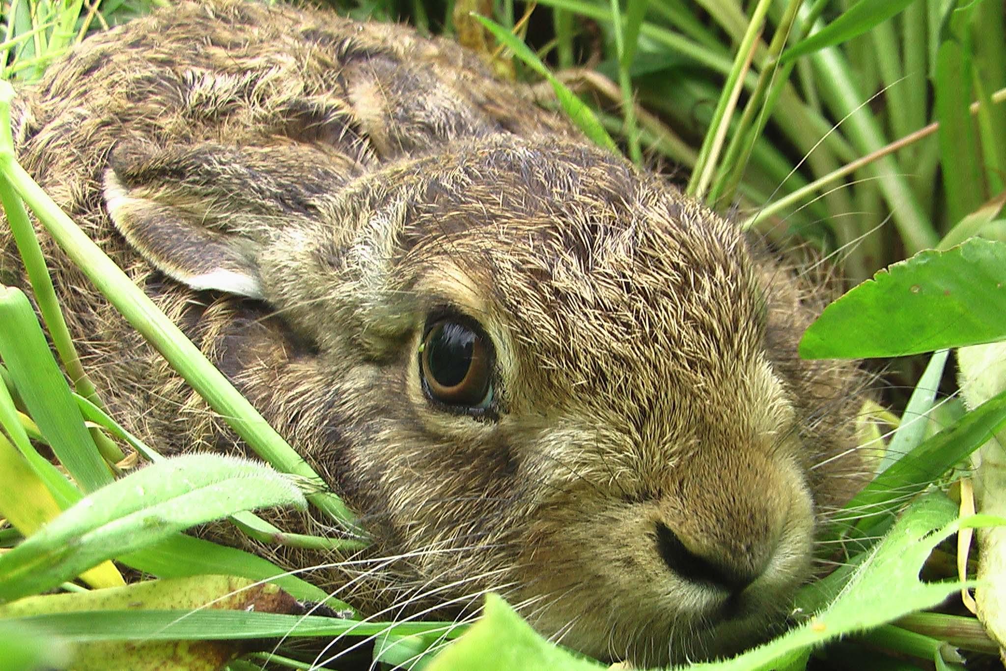 Hase auf Wildpflanzenacker zur Biomasseproduktion