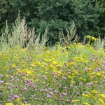 Aktionswoche Artenvielfalt - Wildpflanzen als Biogassubstrat schützen Bienen und Bauern