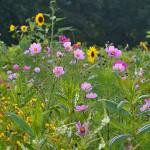 Ausgleichsmaßnahme Blühfläche