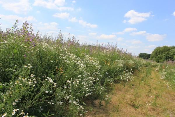 Biogas und Artenvielfalt: Förderung von Wildpflanzen als Eco Scheme