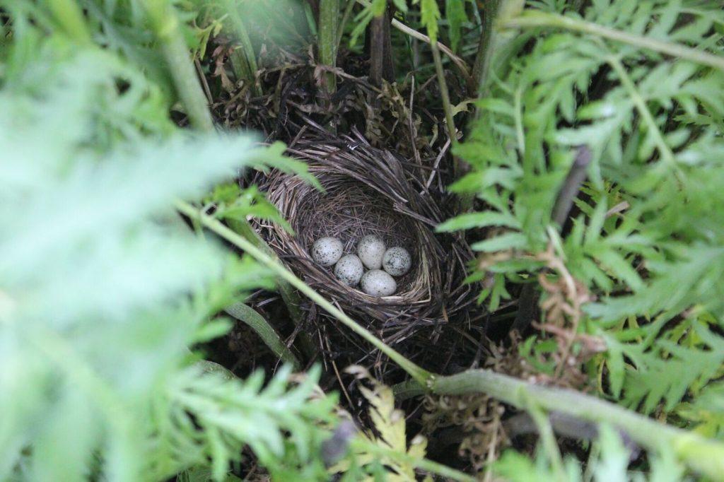 Ein Nest des Sumpfrohrsängers (Acrocephalus palustris) auf einem Wildpflanzenacker (Foto: W.Kuhn)