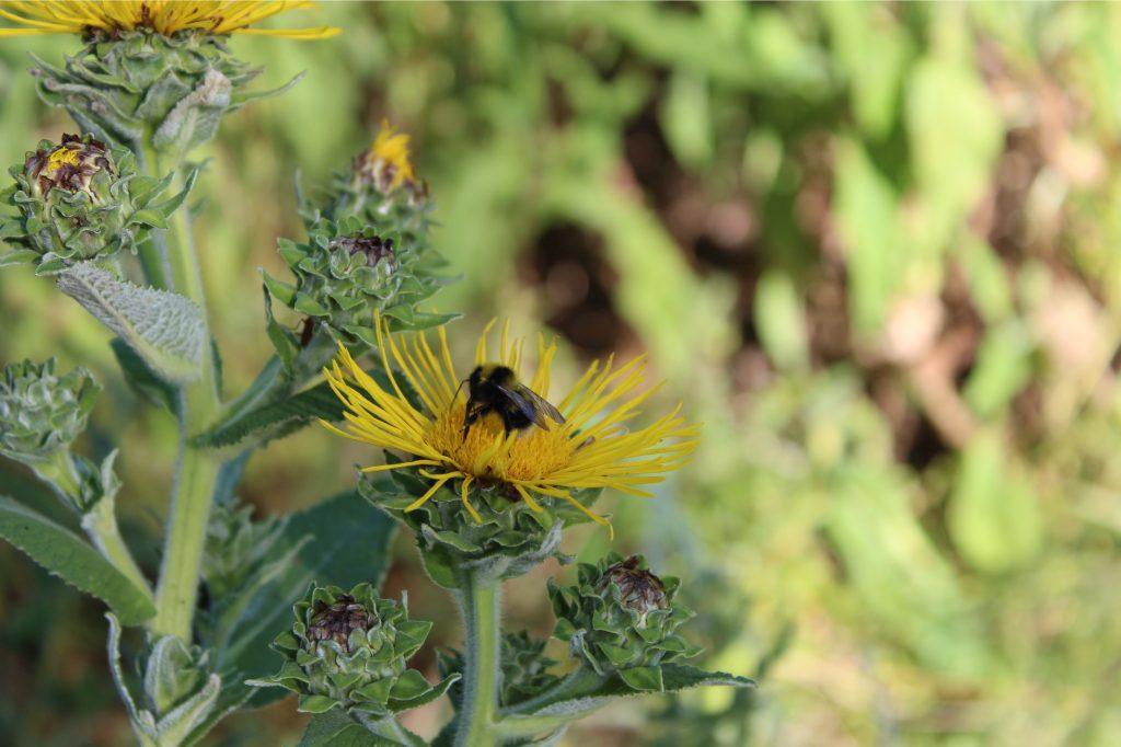Artenvielfalt - Gartenhummel (Bombus hortorum) auf Wildpflanzenacker zur Biogasproduktion
