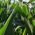 Geht Biogas nur mit Mais