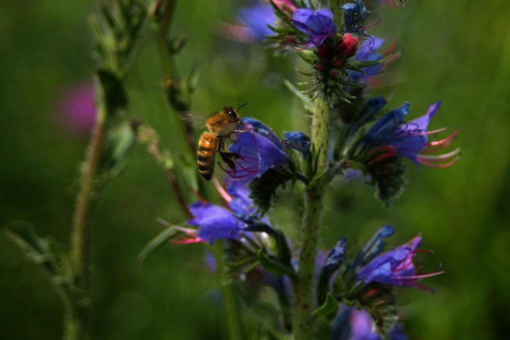 Westliche Honigbiene (Apis mellifera) am Natternkopf (Echium vulgare) (Foto: A.Rugen)