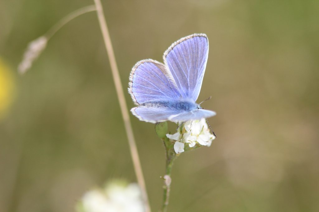 Schmetterlinge - Hauhechel-Bläuling (Polyommatus icarus)