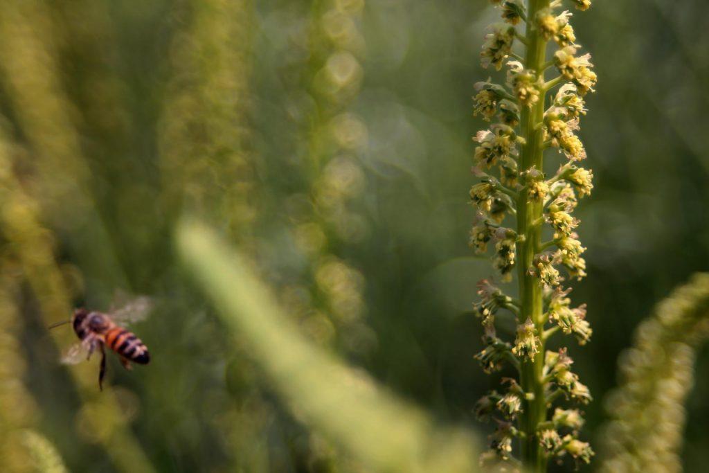 Wildbiene an Färber-Wau (Reseda luteola)
