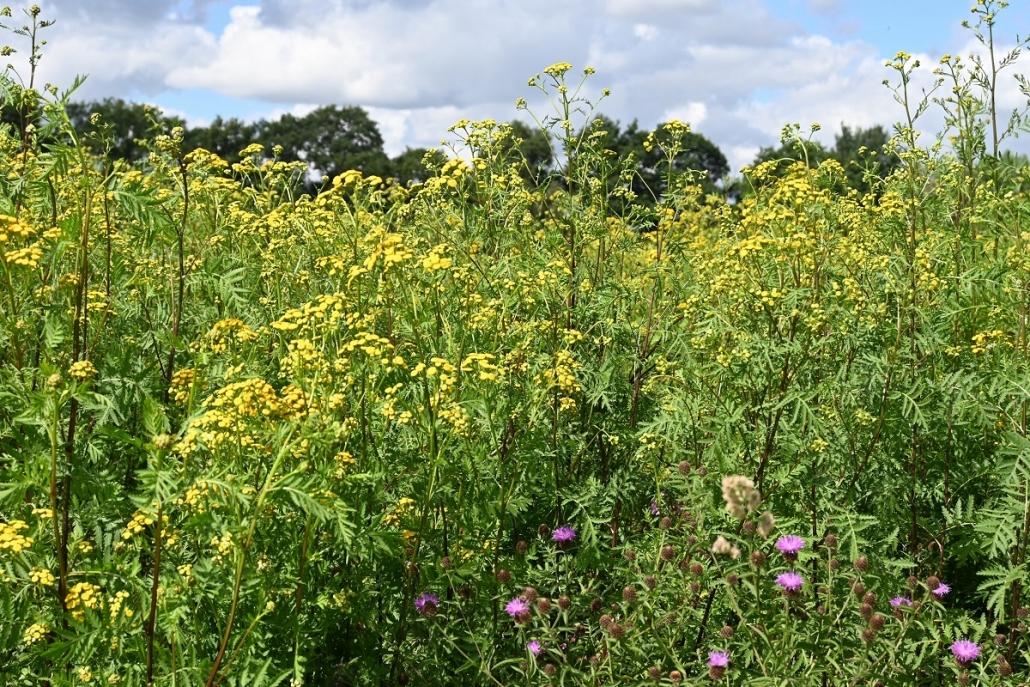 Anbau von Rainfarn für die Biomassenutzung