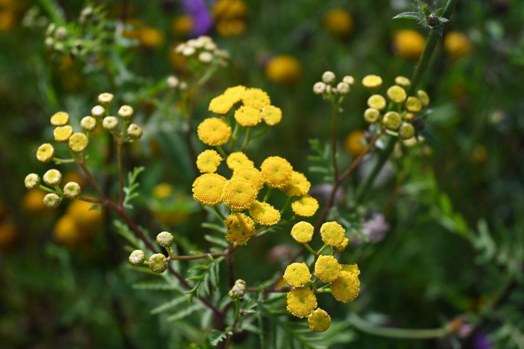 Blühender Rainfarn (Tanacetum vulgare)