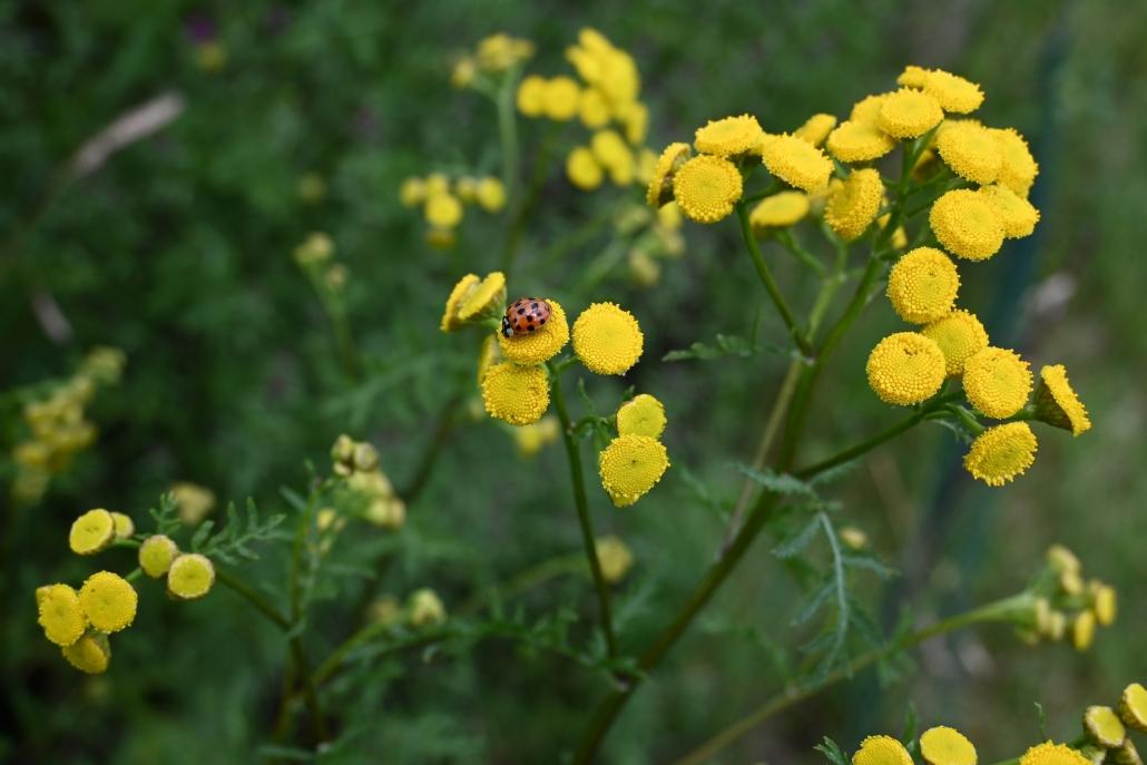 Marienkäfer auf Rainfarn (Tanacetum vulgare)