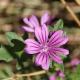 Blüte der Wilden Malve (Malva sylvestris)