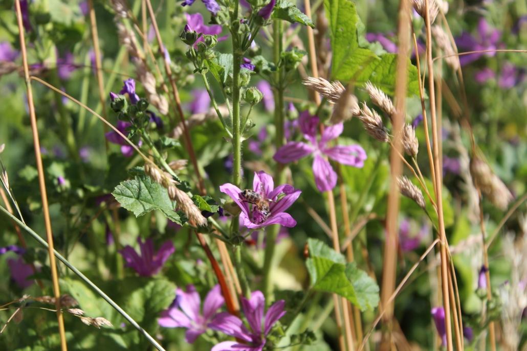 Westliche Honigbiene (Apis mellifera) auf Wilder Malve (Malva sylvestris)