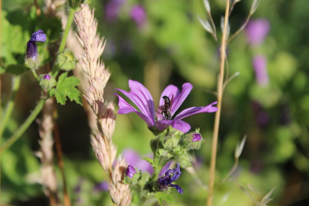 Wildbiene auf Wilder Malve (Malva sylvestris)